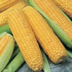 Sweetcorn F1 Incredible Seeds - 25 seeds / 50 seeds